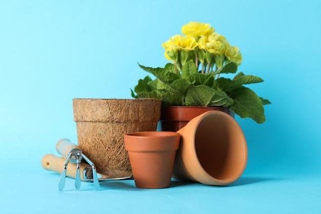 Prímula em panela e ferramentas de jardinagem em azul, close-up