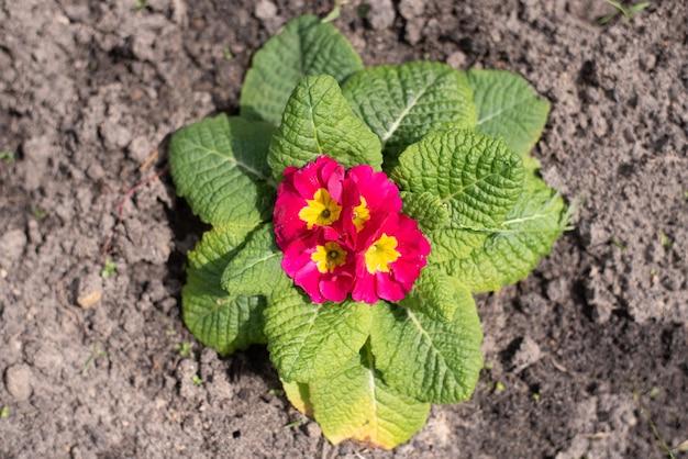 Prímula perene ou primula no jardim da primavera. flores de prímulas da primavera. prímulas roxas em madeiras de primavera. as belas cores do jardim de flores de prímula