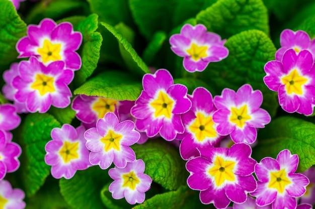 Prímula perene ou primula no jardim da primavera. prímulas na primavera. as belas cores do jardim de flores de prímula.