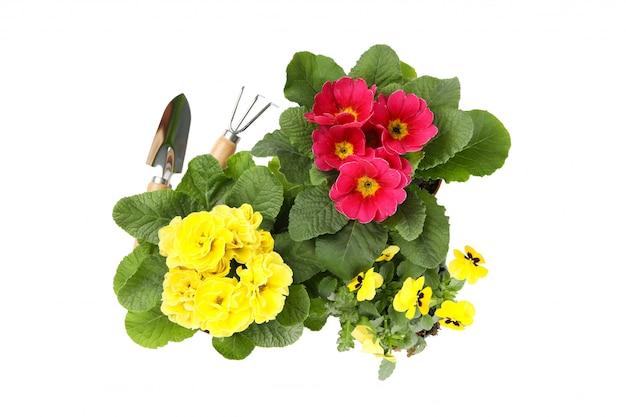 Prímulas, amores-perfeitos e ferramentas de jardinagem isoladas no branco isolado