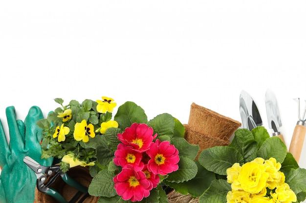 Prímulas, pansies e ferramentas de jardinagem isoladas no branco