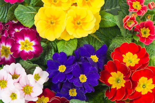 Prímulas sortidas de primavera