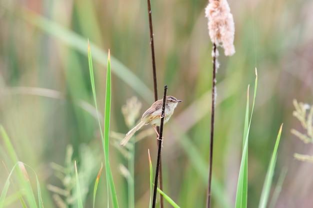 Prinia simples ou toutinegra-de-sobrancelha empoleirar-se no pequeno ramo marrom, tailândia