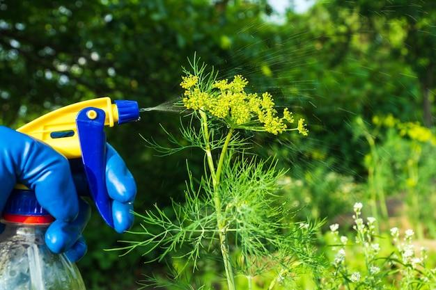 Processamento de endro durante o período de floração contra pragas e doenças