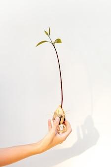 Processo de abacate crescendo a partir da semente, com broto e raízes no fundo branco na mão da mulher. ciência botânica e conceito de plantas em crescimento.