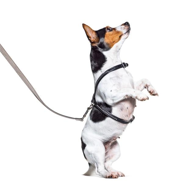 Processo de aprendizagem com um jack russell terrier nas patas traseiras, isolado no branco