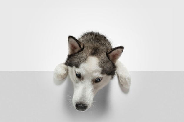Procurando por. cão de companhia husky está posando. cachorrinho cinza branco brincalhão fofo ou animal de estimação brincando no fundo branco do estúdio. conceito de movimento, ação, movimento, amor de animais de estimação. parece feliz, encantado, engraçado.