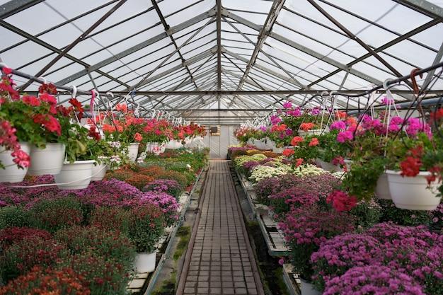 Produção e cultivo de flores. muitas flores de crisântemo na estufa. plantação de crisântemo