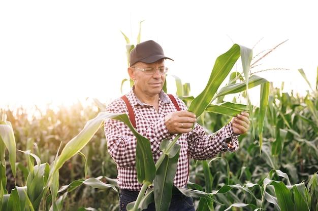 Produtores agrícolas de fazendeiro de milho verifica a colheita no campo mão masculina examinando milho