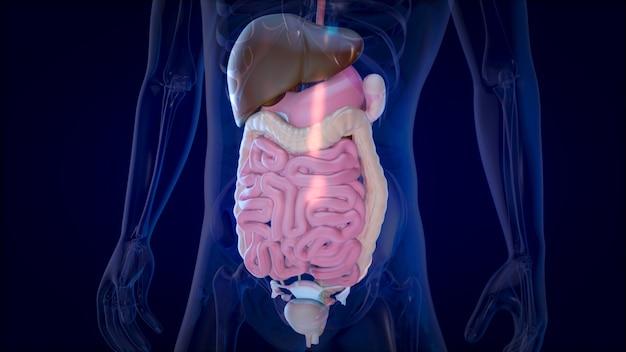 Projeto de conceito 3d de um sistema digestivo