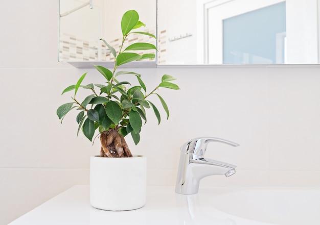 Projeto do banheiro, planta ficus fresco no interior.