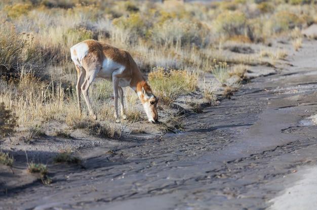 Pronghorn antelope na pradaria americana, eua
