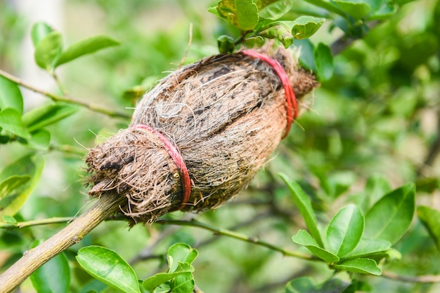 Propagação de cal - enxertia de planta de árvore no galho de árvore de limão na fazenda de agricultura orgânica