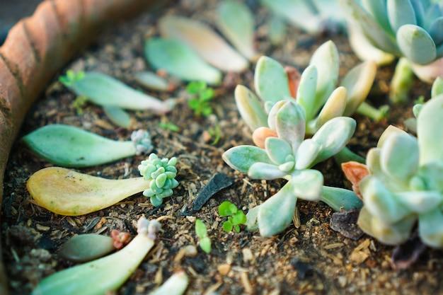 Propagação de folhas suculentas jardinagem em casa plantando folhas de plantas