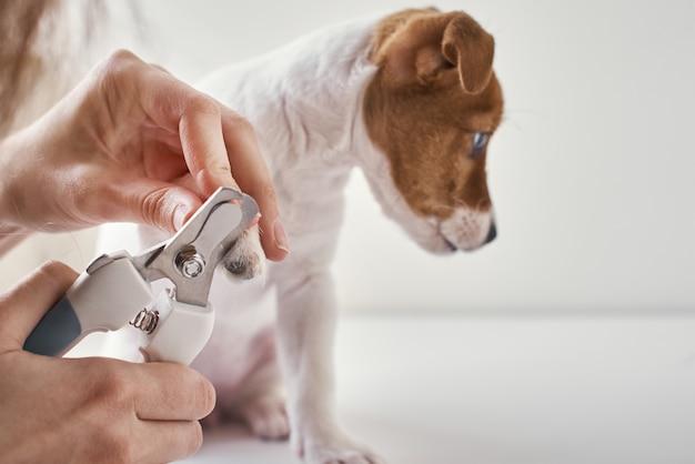 Proprietário corta unhas jack russel terrier cachorrinho com tesoura