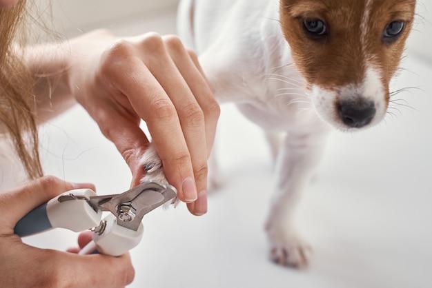 Proprietário cortando unhas de jack russel terrier cachorrinho