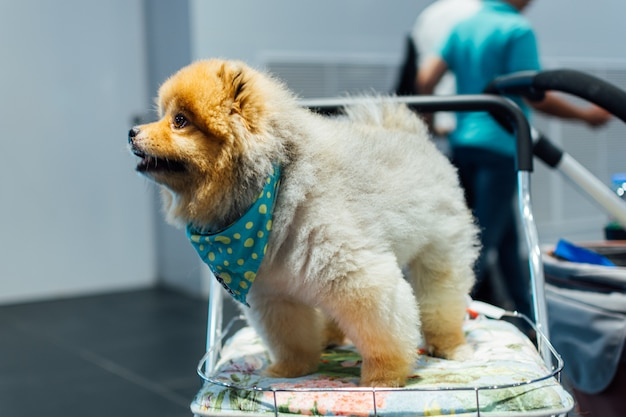 Proprietário de cachorro asiático e o cão na exposição de animais de estimação