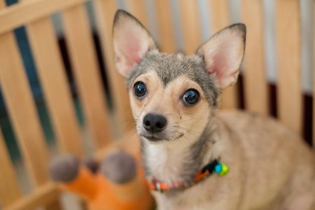 Proprietário de espera de shivava de cachorro pequeno vem a uma gaiola de madeira na casa, cachorrinho pequeno