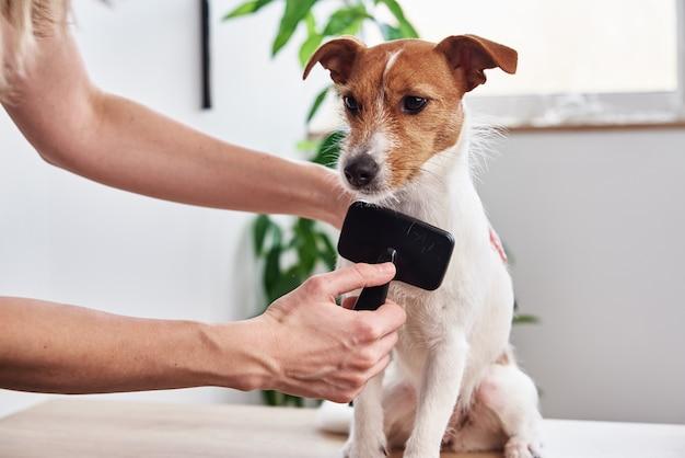 Proprietário penteando seu terrier jack russell