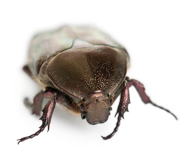Protaetia fieberi espécie de besouro, cetoniidae, em branco isolado