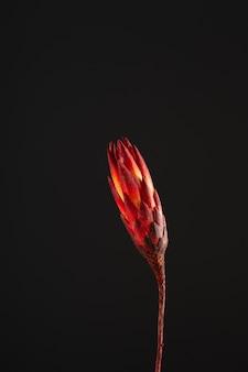 Protea de flores secas em um fundo escuro