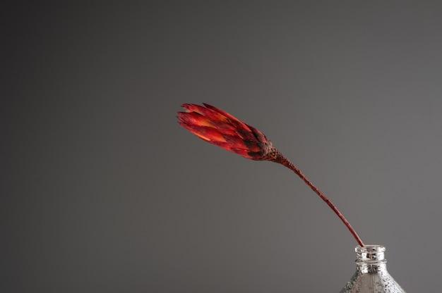 Protea seco em fundo cinza
