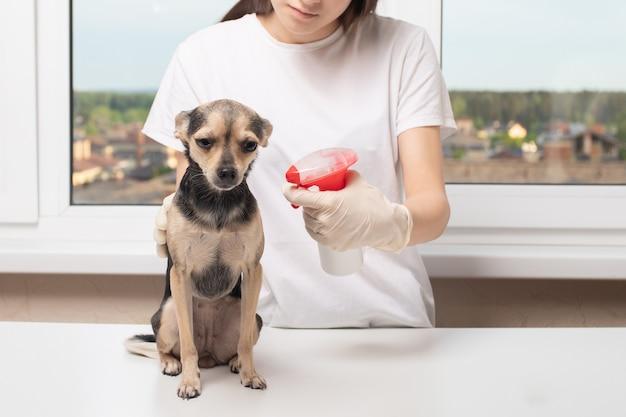 Protegendo cães de carrapatos. menina trata de um animal de estimação antes de uma caminhada