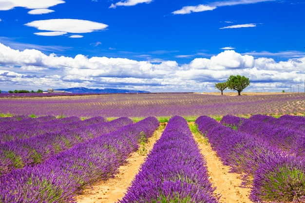 Provence linda com campos de lavanda florescendo.