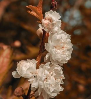 Prunus glandulosa (cereja chinesa)