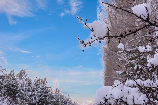 Prunus padus, conhecido como cereja de pássaro, hackberry, hagberry ou árvore mayday, é uma planta da família das rosas rosaceae. paisagem de inverno.
