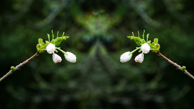 Prunus serrulata ou cereja japonesa em plena floração.