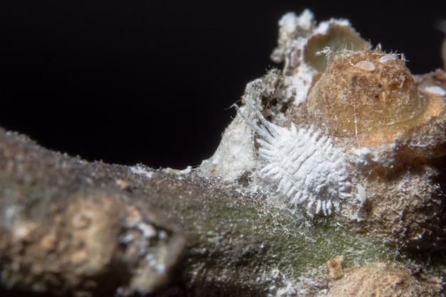 Pseudococcidae close-up