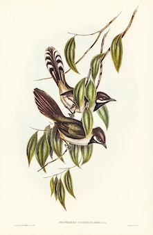 Psophodes-de-garganta-preta (psophodes nigrogularis) ilustrados por elizabeth gould