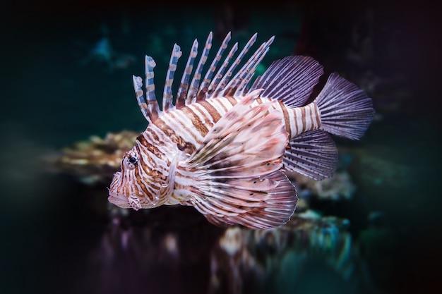 Pterois volitans. peixe-leão vermelho (pterois volitans) de aquário