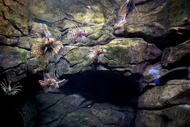 Pterois volitans. peixe-leão vermelho pterois volitans peixes de aquário. milhas bonitas e perigosas de lionfish pterois.