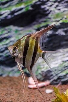 Pterophyllum scalare. peixe anjo