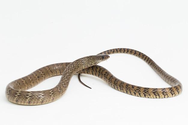 Ptyas mucosa oriental ratsnake cobra rato indiana isolada no fundo branco
