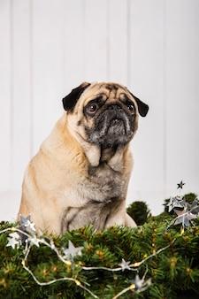 Pug adorável perto de decoração de ramos de pinheiro