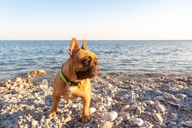 Pug adorável ser feliz na praia. conceito de férias