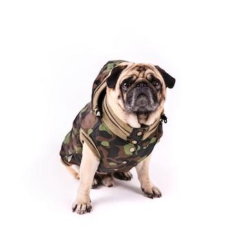 Pug bonito em roupas de exército