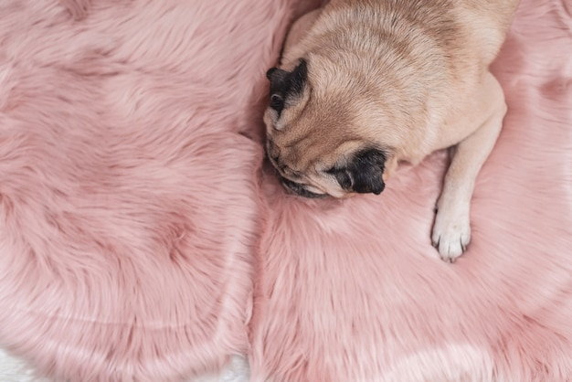 Pug bonito está dormindo no tapete cor-de-rosa da pele. conceito sonolento e acolhedor.
