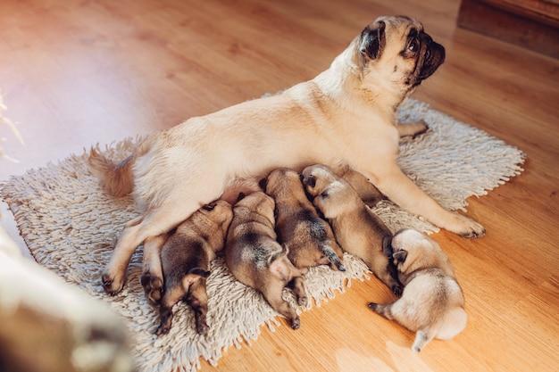 Pug cachorro alimentando seis filhotes em casa