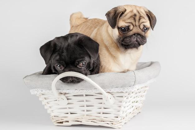 Pug cão isolado