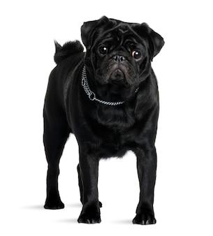 Pug com 1 ano de idade. retrato de cachorro isolado
