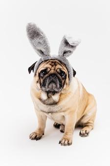 Pug compacto bonito hilariante em orelhas de coelho