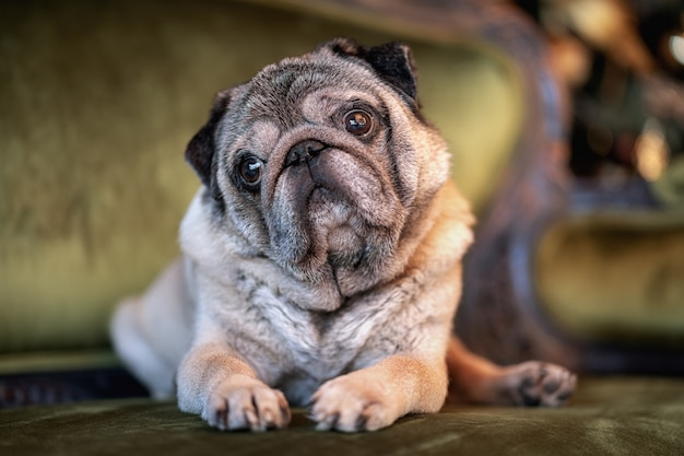 Pug de cachorro triste, sentado em casa no sofá com animais chapéu e celebração