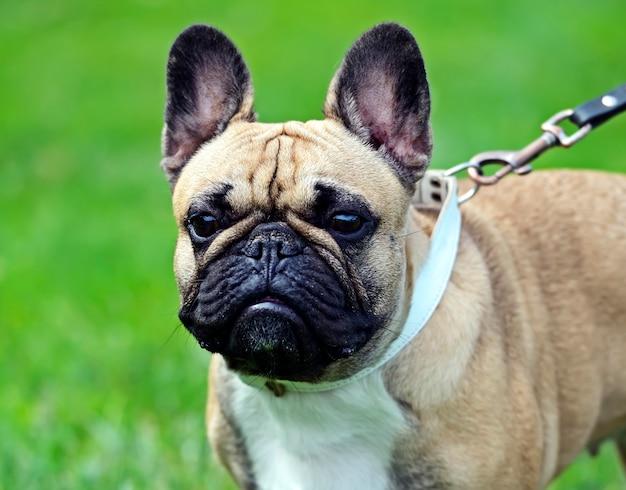 Pug em uma exposição de cães na primavera