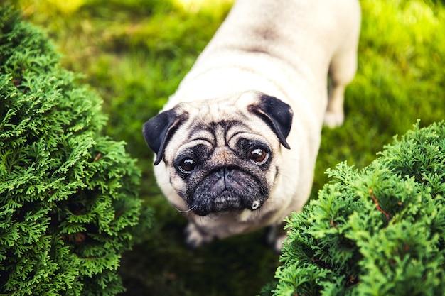 Pug engraçado em uma grama em um parque de verão.