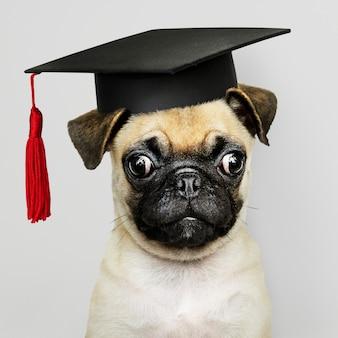 Pug filhote de cachorro acadêmico