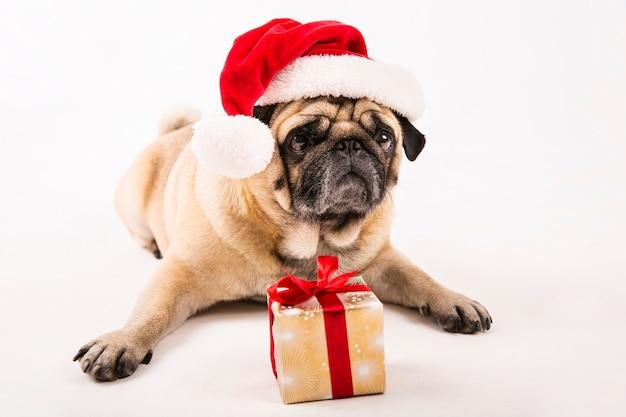 Pug fofo com chapéu de papai noel e colocação de presentes